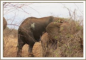 The injured elephant with the wound clearly visible
