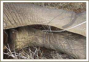 The snare around the elephants leg