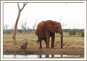 An elephant calf is stuck in a waterhole