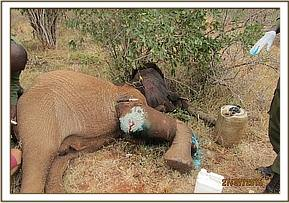 The injured elephant has multiple wounds
