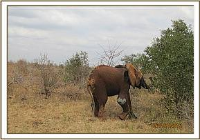 The elephant calf moves off