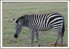 This zebra luckily wasn't seriously injured