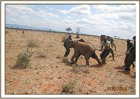Rescue of an elephant Calf
