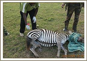 The zebra is immobilised
