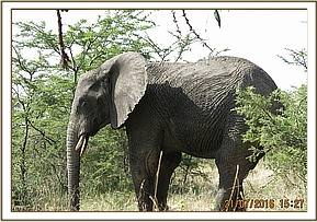 This elephant was seen limping by Bush Top Scouts