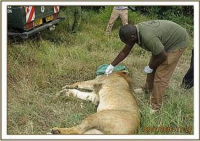 This lion is given a good prognosis
