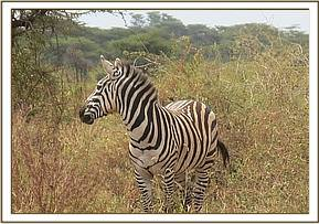 The zebra should make a full recovery