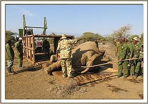 The elephant is loaded onto the truck