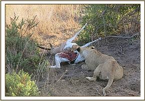 The lion is fed a carcass from another lion hunt