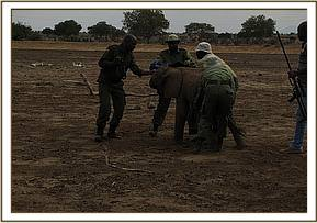 Capturing the elephant calf
