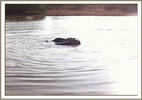 Elephant in the dam