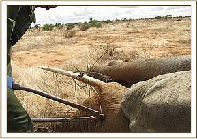 Removing the snare from the elephant