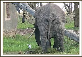 Elephant in a swampy area