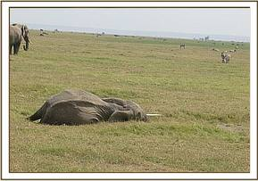 Elephant cow lying and standing