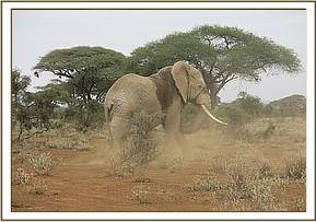 Bull elephant walking away