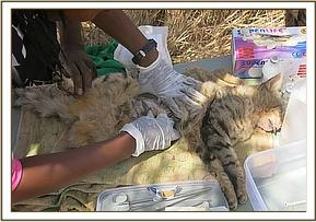 Spaying a female cat