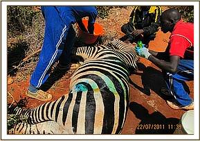 Treating the zebra for its other wounds