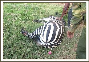 The immobilized zebra after darting