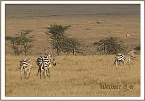Zebra spotted among its herd