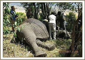 Collar being applied to the elephant