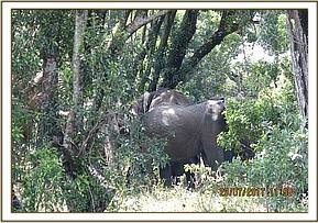 Elephant cow found with her herd in a thicket