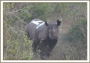 Ear notching rhino 3