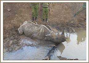 Sadly the rhino had drowned