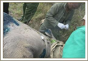 Ear notching a rhino