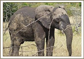 The elephant on its feet after treatment