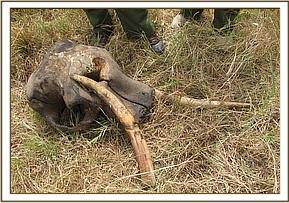 Tusks recovered intact from the carcass