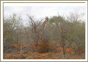 Giraffe spotted in the thicket