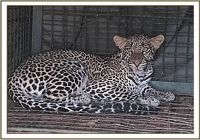 Capture and release of a problematic leopard