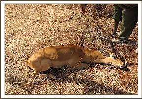 The immobilized Impala