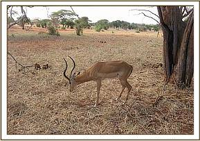 The Impala after the snare is removed