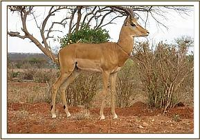 The Impala with a snare around its neck