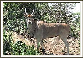 the eland after treatment