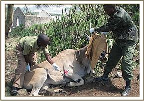 darting the eland