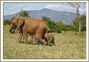 The calf is darted