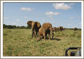 The Matriach remains behind, very portective of the calf and his mother