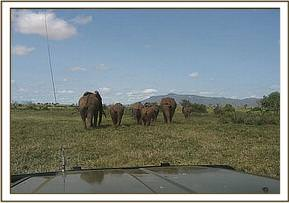 The herd are driven away from the operation