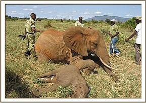 The calfs mother lies on her brisket
