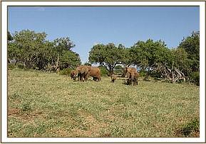 Tiny calf wounded in amongst its family