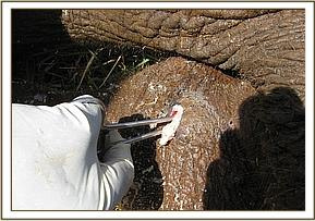 The Vet Unit team treat the wound