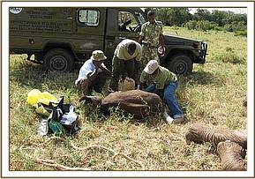The Vet Unit treating the  baby calf