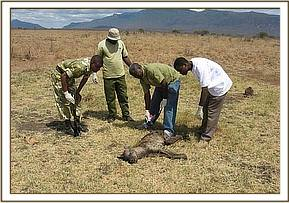 Dr Ndeereh inspects the injury