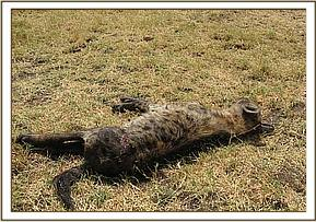 The Hyena is put down