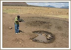 The alive, but badly injured Hyena is darted