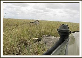 The wounded mother is darted and the calvs wait at distance