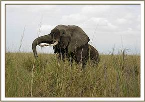 The elephants gets back on to her feet after the reivial drug is administered