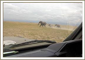 The wounded mother with her two calvs are driven from the marsh
